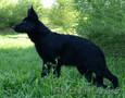 щенки немецкой овчарки чёрного и чепрачного окрасов