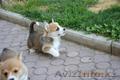 Вельш Корги Пемброк щенки из питомника «Nivas Joy»
